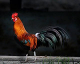 I can hear the rooster crowing.