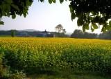 Buttonwoods sunflower farm