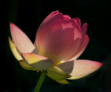 The beautiful Lotus flower backlit by the early morning sun.