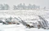 Windswept corn field in mid-winter.