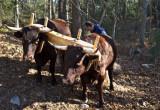 Earls oxen