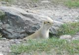 R.Ground Squirrel