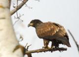 Im. Bald Eagle