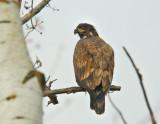 Im. B.Eagle