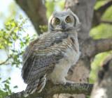 G,H.Owlet