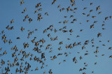 The Crowd (B.Waxwings)