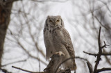 G.H.Owl (Male)