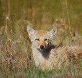Juvenile Coyote