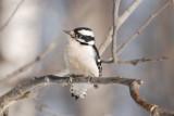D.Woodpecker