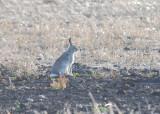 Jackrabbit (White Tailed)