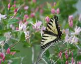 Swallowtail On Honeysuckle