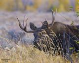 Bull Moose-Teton