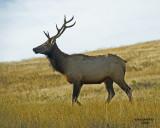 Bull Elk IM.