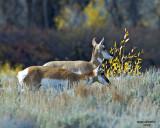 Two Female Antelopes