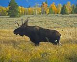 Bull Moose #2