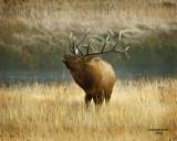 Bull Elk Bugling #3