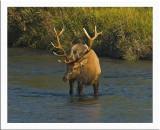 Bull Elk in river eating moss