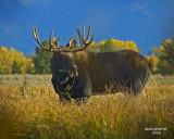 Bull Moose fall 2008