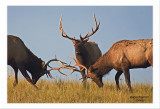 Young  Bull  Elks  Fighting