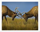 Imature Bull Elk Sparring