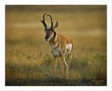 Buck Antelope