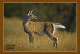 White Tait Deer