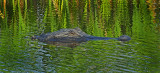 American Alligator( Alligator mississippiensis)