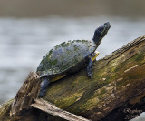 Red-eared Slider Turtle (Trachemys scripta elegans)