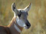 Young Buck antelope