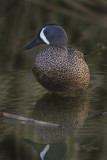 Blue-winged teal (Anas discors) male