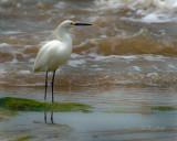 Snowey Egret (Egretta thula)