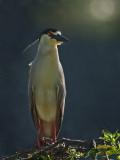 Black Crown Night Heron (Nycticorax nycticorax)