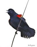 Red- Winged Blackbird (Agelaius phoeniceus)