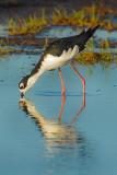 Black- Necked Stilt (Himantopus mexicanus)