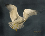 Ring-Billed Gull Landing as the Year  2010 comes to an end
