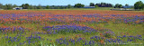 Paintbrush - Bluebonnets Pano - White Hall