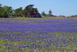 Stryk Road Bluebonnet Field