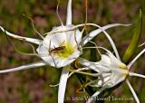 Spider Lily and Bug