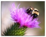 09.13.06 Bee on Thistle