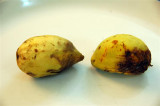 Indian Almond (Terminalia catappa)