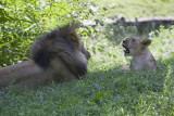 Lions_02.jpg