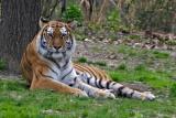 My  first decent Tiger photo