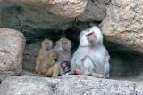 The Baboon Family