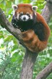 pp-red-panda.jpg
