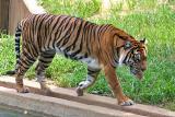 tiger0186.jpg