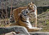 Loving Tigers 0440.jpg