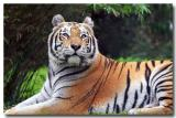 another animal kingdom tiger