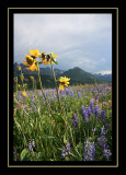 Flowers - Beartooth Wilderness