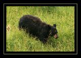 Black Bear - Yellowstone National Park