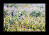 A lupine duo